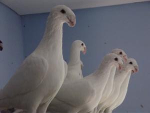 Почтовые птицы - голуби