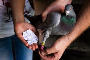 Дрессировка голубей для почты