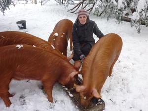 Свиньи породы дюрок: кормление фотография