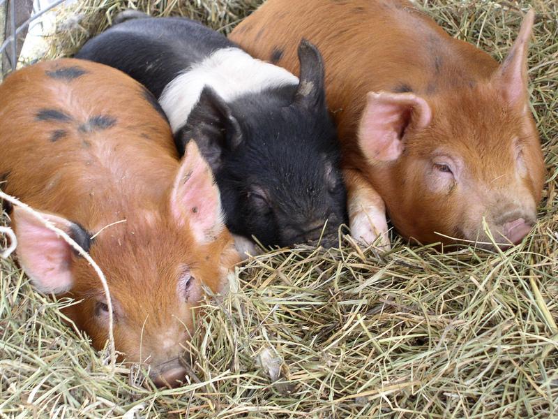 кадров фотографии свиней дюрок жлобина размещены