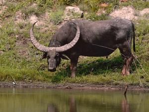 Самыми длинными рогами обладает индийский буйвол, рога у него вырастают до 2 метров