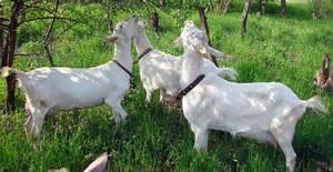 Три козы фото