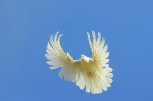 Николаевский белый серпастый голубь