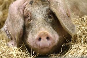 Как проявляются болезни свиней