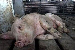 Чем могут болеть домашние свиньи