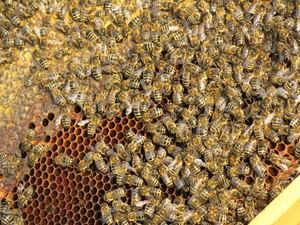 Чистопородные карпатские пчелы