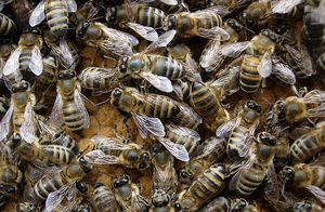 Пчелы породы Карпатка