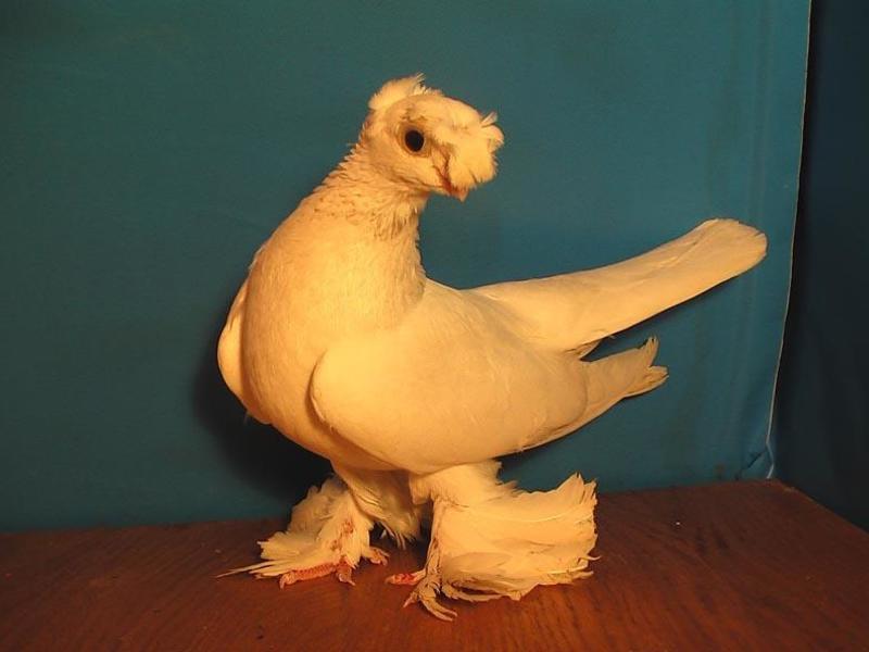 возмещения порода голубей декоративные с фотографией балан отметил день