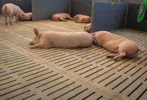 Пол для свиней