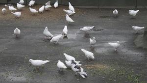 Как питаются голуби