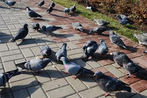 Как кормить голубей в домашних условиях
