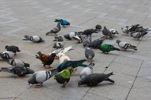 Питание голубей на улице