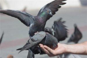 Можно ли кормить голубей пшеном
