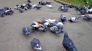 Как кормить голубей