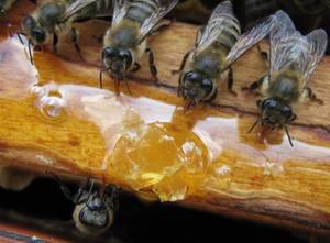 Как пчелами делается мед