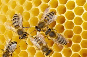 Сколько живут пчёлы