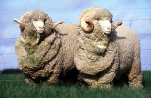 Шерсть мериноса - овцы и бараны шерстеносные