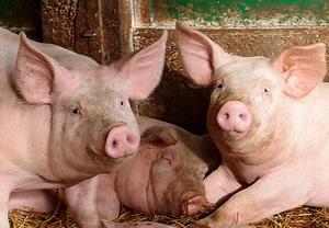 Признаки рожи у свиней