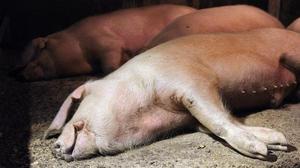 Как лечить свиней в домашних условиях