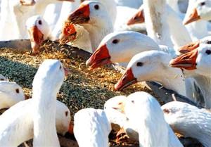 как приготовить рассыпчатую кашу для гусят