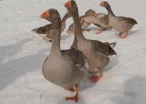 Как зимой кормить гусей