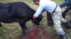 Как забивают скот
