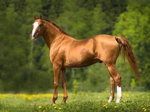Описание строения и окраса донских лошадей