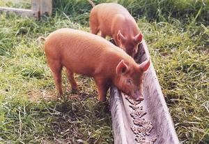 Особенности кормления свиней в домашних условиях