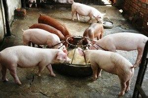 Инструкции и рекомендации для кормления свиней в домашних условиях