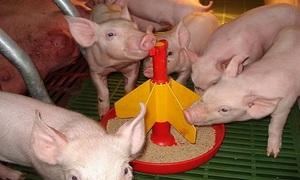 Описание сухих кормов для свиней