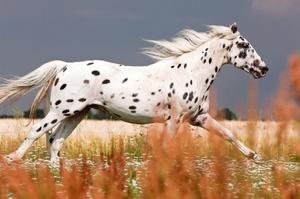 Кнабступпер - порода лошадей