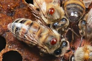 Описание заболевания варроатоза пчёл