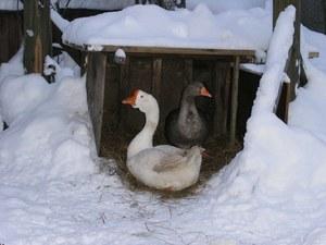 Зимовка гусей