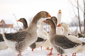 уход за гусями зимой