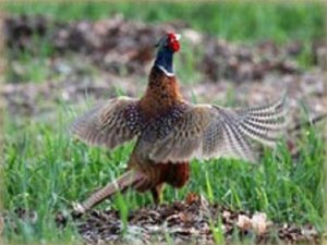 Охота на диких птиц