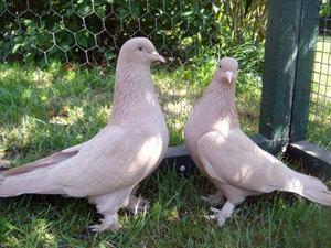 Описанеи породы голубей