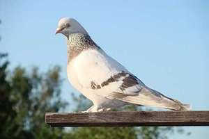 Как живут голуби такла