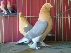 Бойные пород голубей