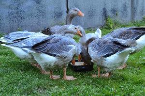 Как кормить гусей для быстрого набора веса