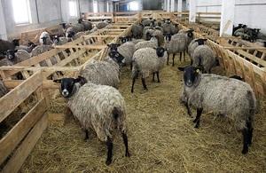 Требования к условиям разведения овец