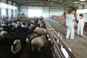 Правила и нюансы содержания овец