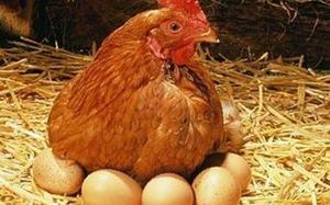 Высижевание яиц наседкой