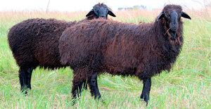 Эдильбаевская порода овец черные овцы фото