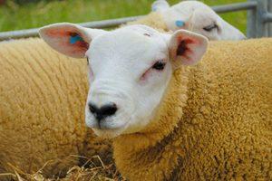 Порода овец тексель