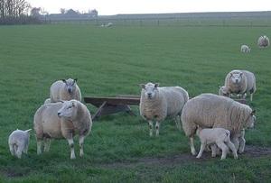 Как содерать овец породы тексель