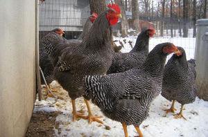 Универсальная, очень удачная разновидность кур