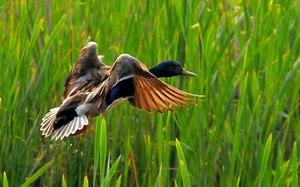 Дикая утка в полете