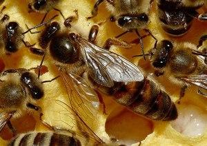 Пчелиная матка крупно