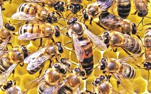 Пчелы крупно