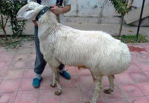 Гиссарская овца